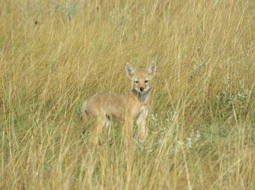 Coyote in the Nebraska National Forests and Grasslands